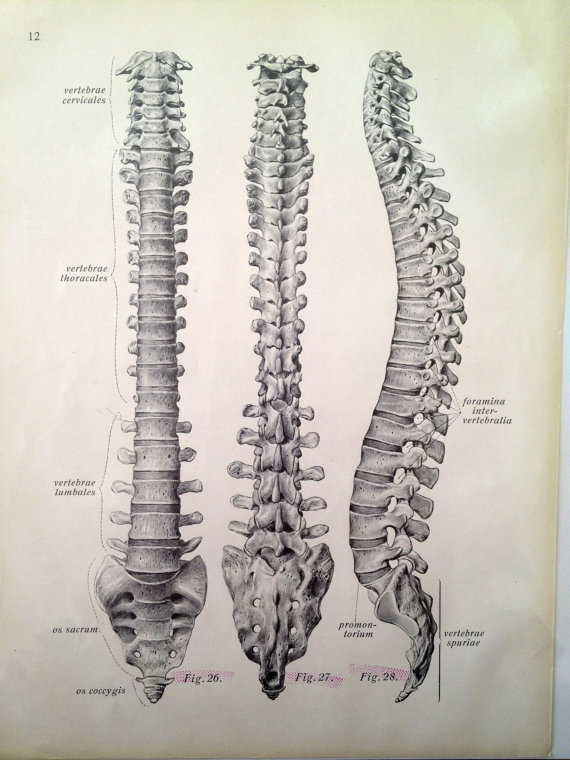 antique print of vertebral column